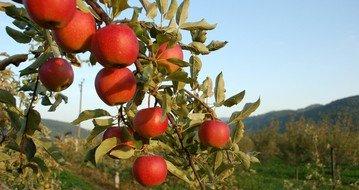 apples-1326137.jpg